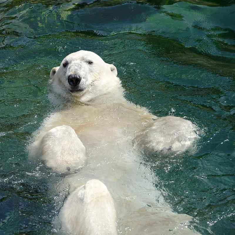 Pan niedźwiedź